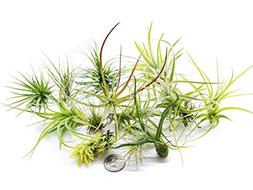 Plants for Pets 12 Live Air Plant Variety Pack| Large Till